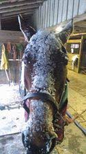 How To Tell If A Horse Is Blind Horses That Are Homozygous For Lp Are Also Night Blind The