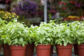 Kitchen Herb Pots How To Get Sarted Growing Herbs In Pots