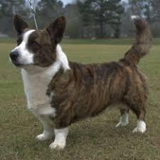 belgian sheepdog hypoallergenic herding group american kennel club