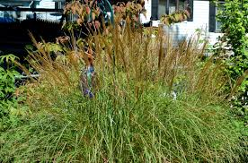 how to grow purple grass in the