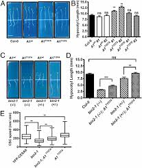 BRASSINOSTEROID INSENSITIVE2 negatively regulates cellulose