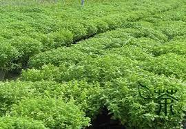 aliexpress buy refreshing effect ocimum basilicum seeds