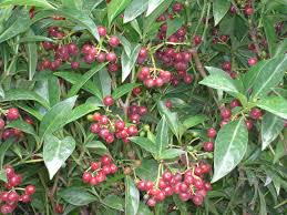native plant definition native florida coffee species psychotria ligustrifolia p
