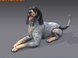 bluetick coonhound in florida thehunter bluetick coonhound youtube