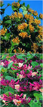 Fragrant Climbing Plant - garden mints