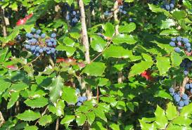 native plant nurseries oregon oregon grape holly has berries in summer that the quail love
