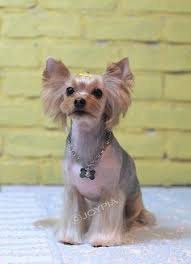 joypia yorkshire haircuts 37 best yorkie hair styles images on pinterest yorkie yorkies