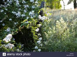New York Vegetaion images Wild roses stock photos wild roses stock images alamy jpg