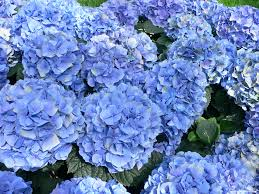 hd hydrangea flower wallpaper new post has been published on