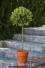 ollie olive tree in pots drought tolerant