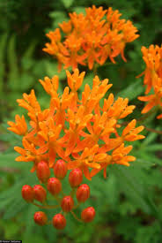 is milkweed really the key to saving monarchs mnn mother