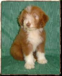 bearded collie brown pictures of puppies for sale cedercrest kennel puppy viewing
