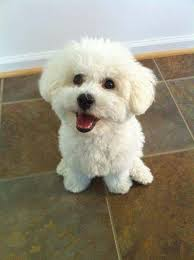bichon frise cute pure happiness adorable bichon frise dog u2026 pinteres u2026