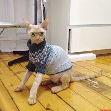 devon rex hating his christmas gift knitted by my genius best