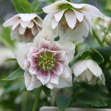 buy lenten rose hellebore helleborus hybridus u0027harvington double