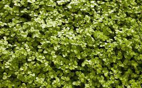 native australian ground cover plants homelife 10 best plants for vertical gardens