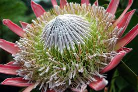 Protea Flower Protea Flower Free Pictures On Pixabay