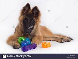 belgian sheepdog tervuren belgian shepherd tervuren puppy with colored toys green blue