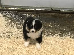australian shepherd for sale california australian shepherd dog puppy dog for sale in placerville california