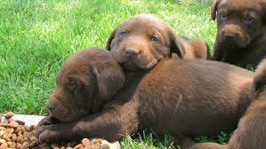 lab puppies resting stock footage video 213157 shutterstock