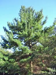 Canadian Garden Zones - fast growing trees