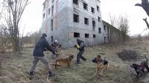 belgian shepherd hunting two belgian malinois very extreme attack muzzle amir ginger dogs