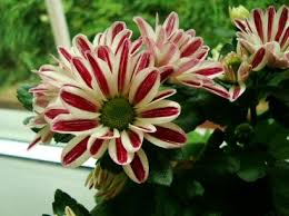 Indoor Flower Plants 159 Best Flowering Houseplants Images On Pinterest Indoor