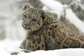 But by Snow Leopards Are No Longer Endangered But That Doesn U0027t Mean They