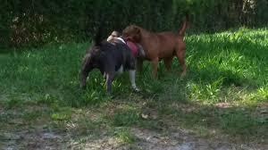 american pitbull terrier gotti razors edge gotti razor edge and mike land in hoobly classifieds