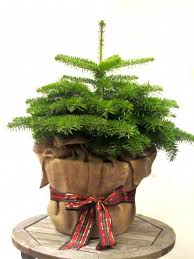 Decorated Christmas Trees Delivered Uk by Pot Grown Christmas Trees For Sale U2013 Delivered London And Uk