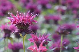 how to use bee balm in the kitchen indie herbalist