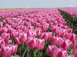 dutch tulip field with pink tulips stock photo picture and