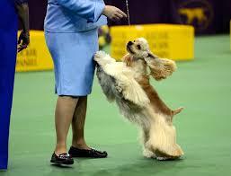 affenpinscher westminster 2015 westminster kennel club dog show