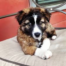 australian shepherd with german shepherd australian u0026 german shepherd mix puppy little dudes pinterest