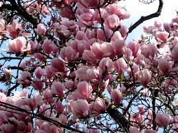 magnolia trees bikes books a