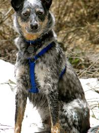 australian shepherd australian cattle dog mix hiking with our blue heeler border collie mix dogs pinterest