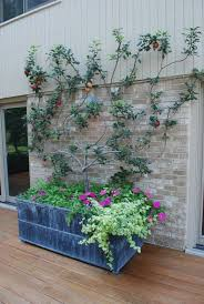 best 25 fruit trees in containers ideas on how to