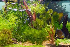 Plants That Do Not Need Much Sunlight by Live Plants In Community Aquariums Lighting Requirements