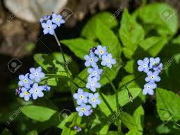 forget me not myosotis small flowers macro selective focus stock