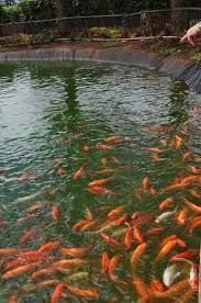 file koi pond dole plantation 5720705359 jpg wikimedia commons