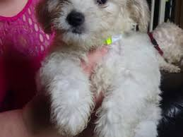 bichon frise jack russell for sale bichon frise puppies u0026 dogs for sale friday ad