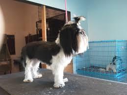 how to groom a belgian sheepdog fu man chu shitzu