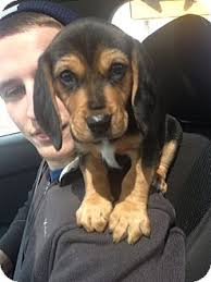 bluetick coonhound beagle toby adopted puppy laingsburg mi beagle bluetick coonhound mix