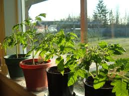 Home Decor Plants Living Room Tomatoes In My Living Room Hortophile U2013 My New Garden