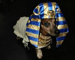 King Tut Halloween Costume 25 Dachshund Halloween Costumes Ideas