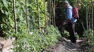 farmer spraying pesticides in the vegetable garden gardening