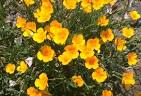Celebrating Wildflowers - Plant of the Week - California Poppy
