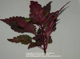 How To Grow Coleus Plants by How To Grow Coleus From Cuttings Garden Org