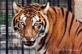 eye of the tiger midophotography lebanon portrait