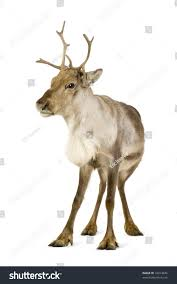 reindeer 2 years front white background stock photo 10014646